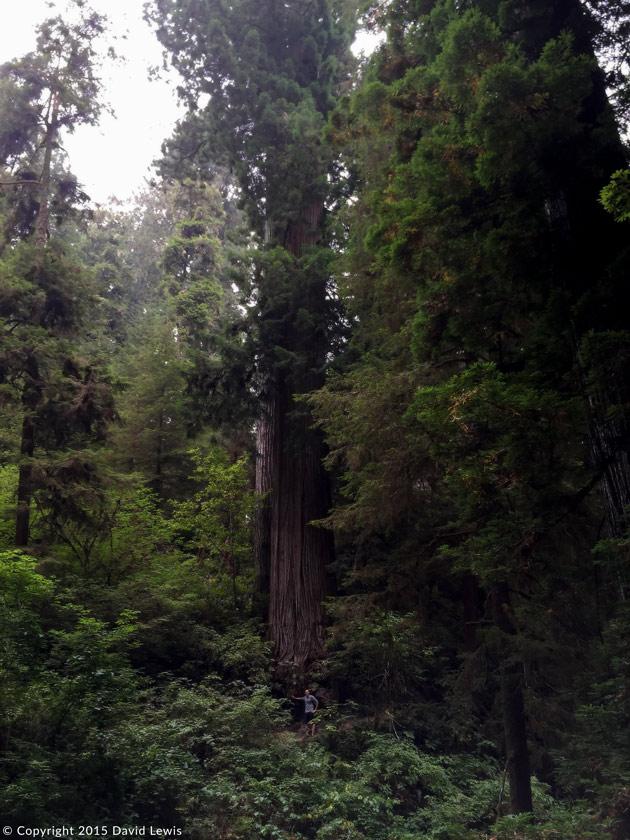Forêt de séquoias